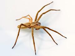 SPIDER: NURSERY WEB SPIDER (Pisaura mirabilis) [Explore] (Tibby Man) Tags: england derbyshire tibshelf