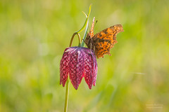 Fritillaria meleagris with comma butterfly (Sander Meertins | Frame-d.nl) Tags: wild orange sunlight flower nature animal butterfly season insect spring flora pattern purple wildlife wing meadow natuur croatia lepidoptera zoetermeer vegetation bloom resting endangered aurelia rare comma westerpark fritillary paars bloem rarity scarce snakeshead fritillariameleagris chequered nymphalidae uppland nationalsymbol kingsmeadow polygonia zeldzaam calbum kievitsbloem gehakkelde natuurtuin kockavica schaars framednl