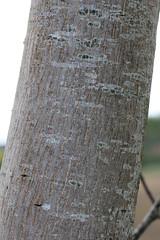 Noyer commun (Juglans regia) (photoposie) Tags: juglansregia juglandace
