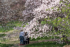 Early Spring At Highland -Magnolia (George - with over 2 mil views - THANKS) Tags: flowers usa newyork garden us flora blossom unitedstatesofamerica may rochester upstatenewyork newyorkstate highlandpark naturalworld citypark westernnewyork monroecounty fredericklawolmstead nikond700 photogeorge acdseeultimate8