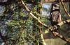 Day 058/365 - Woodland Park Owl (Great Beyond) Tags: seattle anime color tree bird film 50mm zoo iso100 washington kodak slide slidefilm raptor 35mmfilm owl 365 february eastman slides ektachrome 3000v avian woodlandparkzoo phinneyridge woodlandpark canonrebelti kodakfilm menagerie phinney biopark 2015 canonef50mmf14usm conservationpark eastmankodak seattlewashington zoologicalgarden kodakektachromee100vs wpz zoologicalpark project365 ektachromee100vs canoneosrebelti canoneosrebel3000v february2015