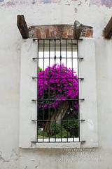 Concreto & Vegetación 5 (narr75) Tags: naturaleza blanco ventana plantas bugambilias vegetación