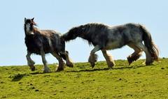 Don't Bite My ... (howell.davies) Tags: uk horses horse sun nature sunshine animal animals wales countryside nikon fields bite playful hendy yabbadabbadoo d3200 countryfile 55200vr