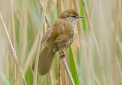 JWL7566  Cetti's Warbler... (jefflack Wildlife&Nature) Tags: nature birds countryside wildlife ngc npc wetlands avian warbler songbirds wildbirds warblers cettiswarbler