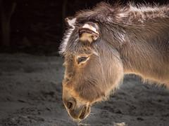 Safari Zoo Schnbrunn (armin.halm) Tags: vienna wien zoo donkey tiergarten esel