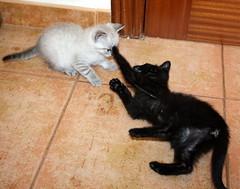Gata Pucca (13) (adopcionesfelinasvalencia) Tags: gata pucca