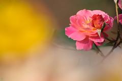 20160522-D7-DS7_2405.jpg (d3_plus) Tags: park street sky plant flower nature japan garden walking drive tokyo nikon scenery bokeh fine daily bloom   nikkor   kanagawa   dailyphoto touring     thesedays  fineday  jindaiji          d700 kanagawapref nikond700