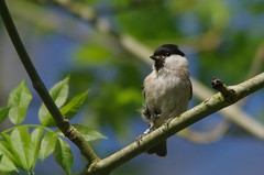 IMGP2148 Marsh Tit, Lackford Lakes, May 2016 (bobchappell55) Tags: wild bird nature woodland suffolk tit wildlife lakes reserve trust marsh damp lackford