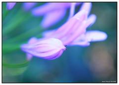 Douceur... (crozgat29) Tags: nature fleurs canon jardin sigma jmfaure crozgat29