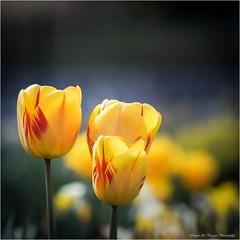 Pb_4290067 (Fernand EECKHOUT) Tags: flowers france fleurs photoshop photography photos ngc olympus adobe avril zuiko printemps vosges omd proxy flore tulipe lightroom em1 2016 kenko lr6 bagueallonge imagesvoyages poulbeau19 m40150pro