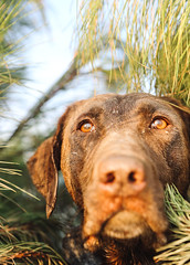 eyes on the prize (bigbuzzhunt) Tags: dogs duck labrador hunting working retriever lodge honey brake waterfowl