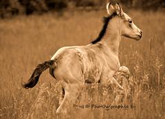Gucci des Valles (PhotOw'graphie) Tags: horse nature animal cheval animaux extrieur chevaux foal poulain galop