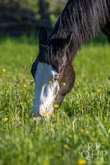 999A3853 (RPQHP) Tags: horses horse spring weide natur western quarter pferde pferd quarterhorse