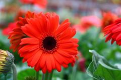 I must have flowers, always, and always. (HR Lemon) Tags: flower sunshine sunflower redflower flowerbud flowerpetal flowerphotography