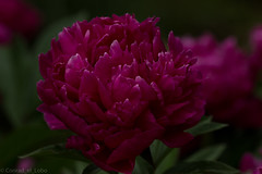 Deep Pink (Conrad_El_Lobo) Tags: life pink flowers summer flower nature beautiful outside deep beginning lovely