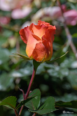 _VMG3082 (V.Maza) Tags: barcelona abejas naturaleza flores spain flora nikon catalunya rosas jardines rosal airelibre rosceas d7100