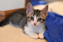 Breanna (Save-A-Pet Adoption Center) Tags: female cat kitten tabby foster breanna 2016 saveapet tabbywhite robynslitter