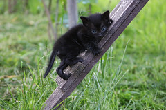 skinny little climber named Mew (dzepni_oktavo) Tags: pet black cute beautiful animal cat skinny small kittens climbing mew