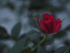 a model under exclusive contract (kokemomiji) Tags: rose red green olympus omd em1 60mmf28macro macro closeup dew dusk