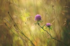 Little treasures (Tammy Schild) Tags: flowers summer nature field grass purple bee cloverflower