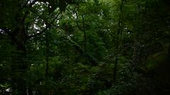 DSCN1404 (VerlynC) Tags: tree falling hickory