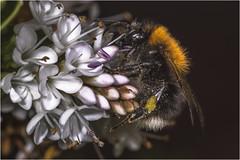 Garden Mining Bee (Darwinsgift) Tags: flowers macro garden fly nikon flash insects bee micro af nikkor f4 200mm sbr200