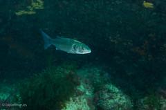 DSC_4445 (bajo_el_mar) Tags: pez underwater lastres 2016 cantbrico lubina fotosub dicentrarchuslabrax