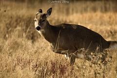 White-tailed deer (Odocoileus virginianus) (Jeffrey Jang Photography) Tags: ca ontario canada jeff nature animal mammal nikon wildlife whitby jeffrey jang whitetaileddeer naturephotography odocoileusvirginianus wildlifephotography d810 lyndeshoresconservationarea jeffreyjangphotography m128632015