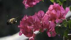 Pink (L Geoffroy) Tags: yellow bee bumblebee bougainvillea pink red flowers