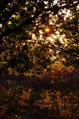 Leafy sunset (Sundornvic) Tags: trees light sunset sky sun silhouette woods shine shropshire hill haughmond