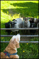 Spellbound (Eline Lyng) Tags: leica friends oslo norway museum goldenretriever 35mm golden sheep audience canine retriever fanclub sl lamb bygdøy summilux35mm leicasl