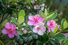 Flowers of the season... (antwerpenR) Tags: china hk cn hongkong asia southeastasia asean