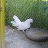 White Dove (ahassib) Tags: bird dove whitedove peace symbol peacedove pidgeon animal afghanistan travelphotography