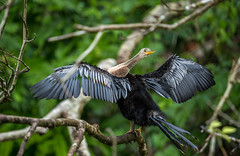 Ready to Fly ? (KarlsGalaxy) Tags: wild costa naturaleza bird nature wet birds animal canon river spread wings costarica zoom wildlife feather rica pajaro boattrip drying 6d 70200mm snakebird
