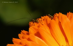 Little mini bugs on Calendula officinalis (A. Meli) Tags: flower macro nature little outdoor ngc mini bugs termszet kfer calendula macrophotography officinalis ringelblume pici makr kicsi livingbeing szabadban krmvirg littlebugs apr bogarak makrfot krmvirgszirom kisllnyek