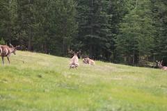 Elk Peeing, Whitehorse, Yukon, Canada (GOD WEISFLOK) Tags: pee north yukon elk 60 whitehorse gordweisflock weisflock