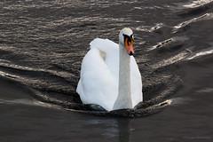 Bow Wave (Al Henderson) Tags: england bird london river airport unitedkingdom heathrow wildlife aviation gb airliner lhr muteswan longford egll