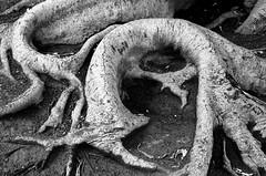 bonus (txutis de can burrass) Tags: tree arbre rbol blancinegre blackandwhite bw bn arrels races root nature natura naturaleza
