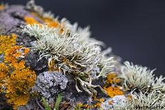 Lichen (mistinguette.mistinguette) Tags: plant texture field pattern outdoor d lichen depth