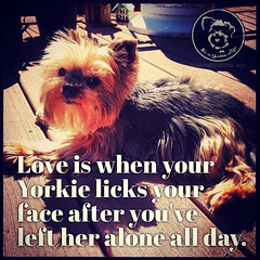 Kisses and forgiveness are wonderful. (itsayorkielife) Tags: yorkiememe yorkie yorkshireterrier quote