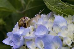 Snail on Hydrangea (brucetopher) Tags: flowers blue flower garden spiral slow gardening stripes snail twirl hydrangea curl creature crawl mollusca mollusc mollusk twirly