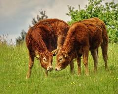 Falling in love (mheckerle) Tags: cow kuh khe 2016 natur farm nature animals landscape landschaft landwirtschaft rinder hessen hesse germany