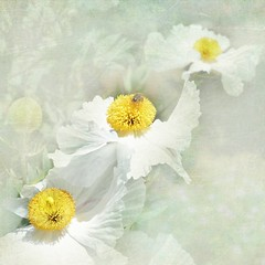 I believe in angels, something good in everything I see (Nick Kenrick.) Tags: white yellow three pastel poppy magicunicornverybest