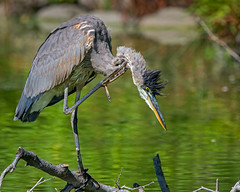 Itch (jmishefske) Tags: greenfield nikon young milwaukee pond blue great first westallis d7100 wisconsin august year park lagoon heron county 2016
