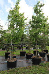 Acer rubrum (Red Maple) (TreeWorld Wholesale) Tags: acer rubrum red maple