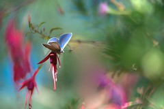 The fuchsia and the butterfly (Mureau A) Tags: mureau nikon d800 105 tc14 tc tc14ii macro butterfly fuchsia bokeh