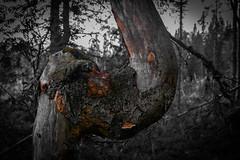 Bend (puittinenmikko) Tags: bent tree bw finland