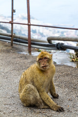 A Barbary macaque at the top of the Rock (TimOve) Tags: vacation ferie trip summer sommer barbarymacaque rockape gibraltar monkey therock