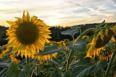 Portrait de tournesol (Excalibur67) Tags: nikon d750 sigma 24105f4dgoshsma flowers fleurs tournesol sunflower nature girasol