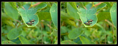 Come on Baby, Let's Fly ! - Parallel 3D (DarkOnus) Tags: pennsylvania buckscounty huawei mate8 cell phone 3d stereogram stereography stereo darkonus closeup macro insect popillia japonica mating japanese beetles come baby lets fly ttw parallel